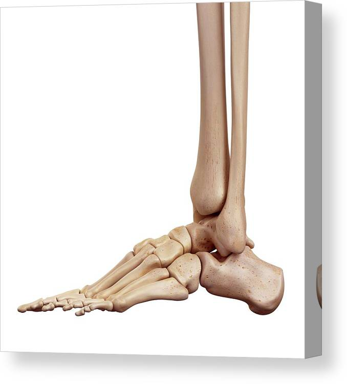 Artwork Canvas Print featuring the photograph Human Foot Bones by Sebastian Kaulitzki/science Photo Library
