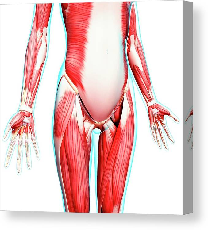 Artwork Canvas Print featuring the photograph Female Musculature by Pixologicstudio/science Photo Library