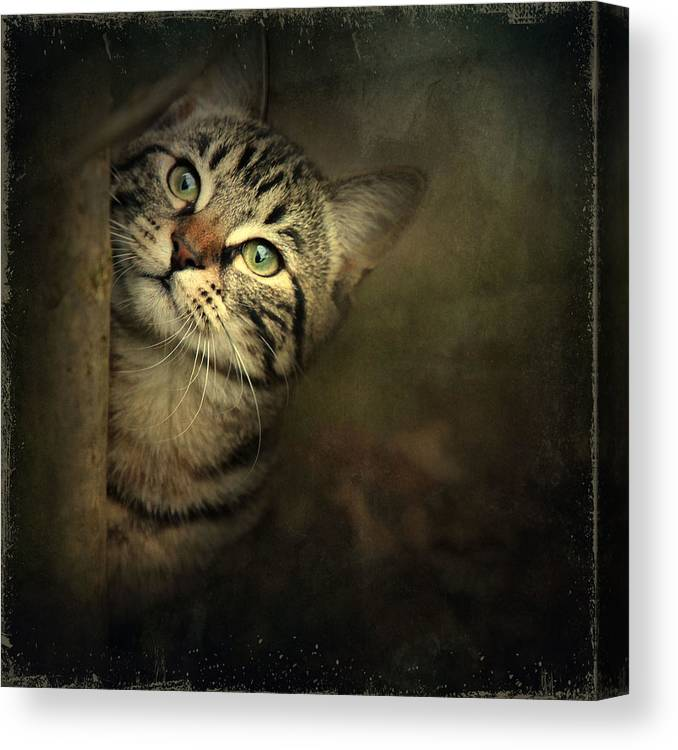 Kitten Canvas Print featuring the photograph A Little Shy by Annie Snel