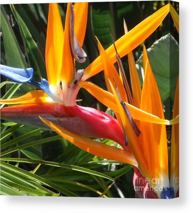 Bird Of Paradise Canvas Print featuring the photograph Double Bird Of Paradise - 1 by Mary Deal