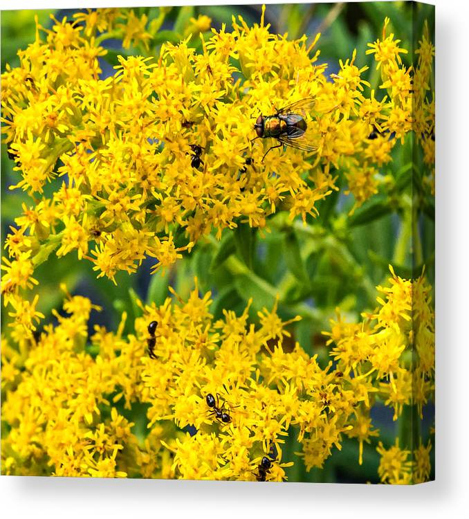 Steve Harrington Canvas Print featuring the photograph Exploring Goldenrod 5 by Steve Harrington