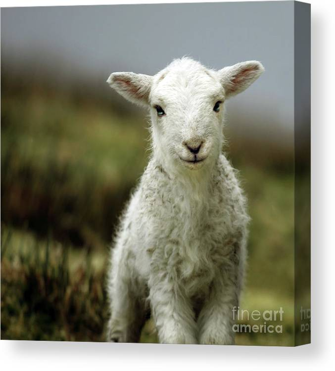 Wales Canvas Print featuring the photograph The Lamb by Angel Ciesniarska
