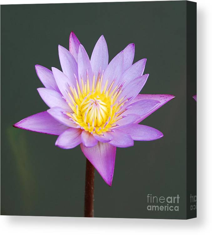 Water Canvas Print featuring the photograph Water Lily by Luis Alvarenga