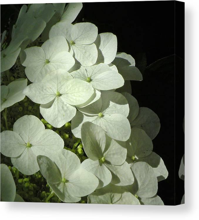 Flower Canvas Print featuring the photograph White Hydrangeas by Deborah Smith