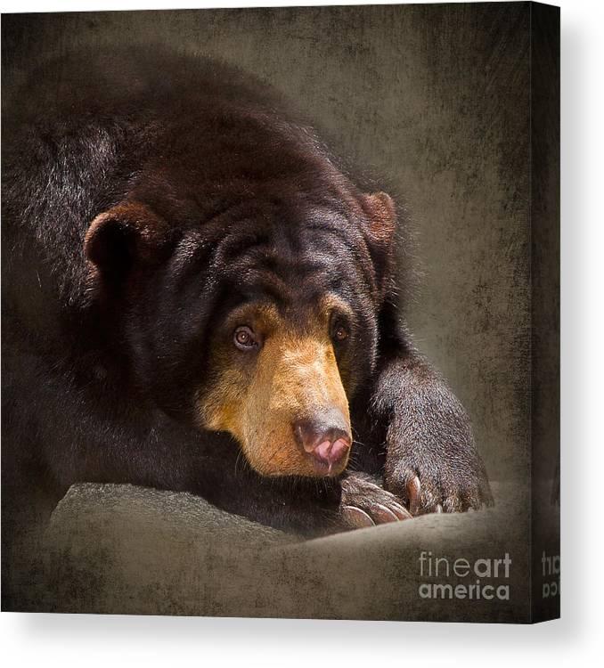 Sun Bear Canvas Print featuring the photograph Sad Sun Bear by Louise Heusinkveld