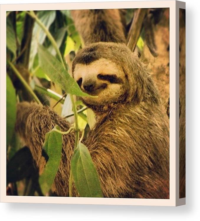 Smiley Sloth Manuel Antonio Costa Canvas Print Canvas Art By