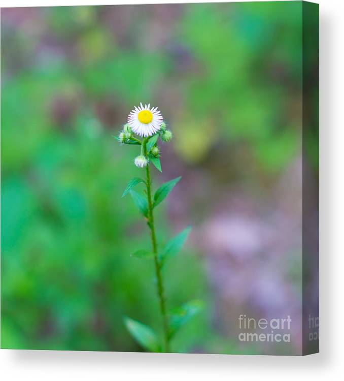 Wildflower Canvas Print featuring the photograph Wildflower IIi by Christina Klausen