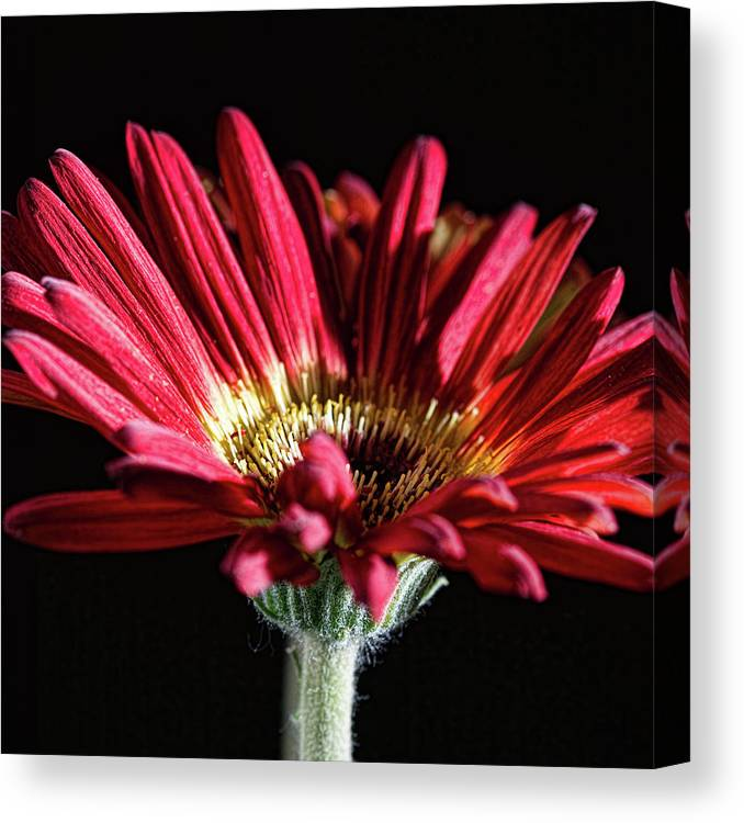 Red Gerbera Flower Canvas Print featuring the photograph Red Gerbera 1 by Steve Purnell