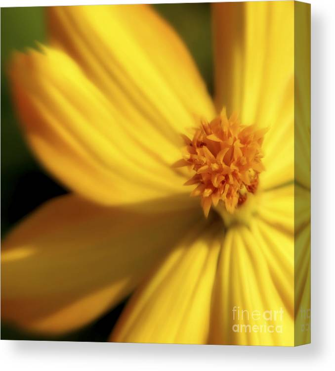 Yellow Canvas Print featuring the photograph Dreamy Coreopsis by Jeannie Burleson