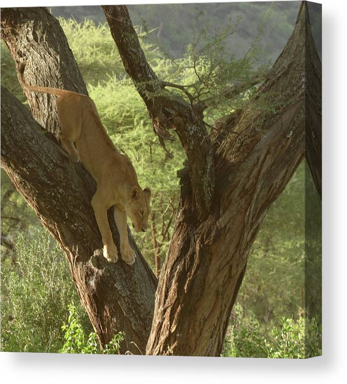 Tree Canvas Print featuring the photograph Terengeti Lioness by Joseph G Holland