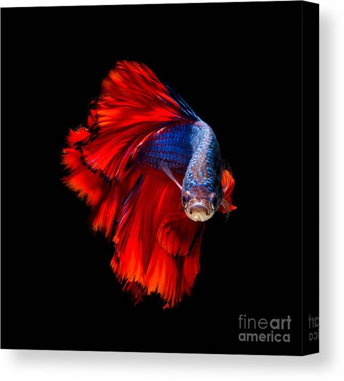 Dress Canvas Print featuring the photograph Colourful Betta Fish,siamese Fighting by Nuamfolio