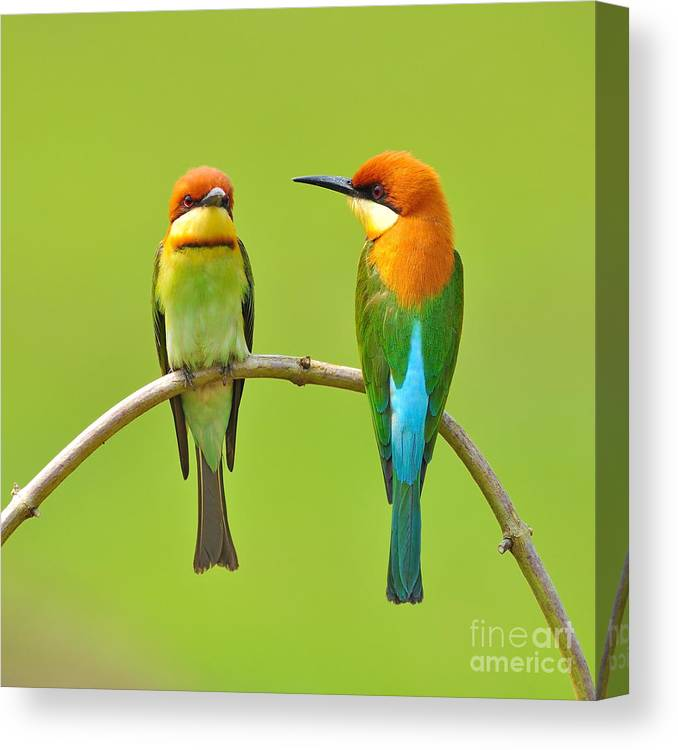 Quick Canvas Print featuring the photograph Couple Of Bee Eater Bird by Butterfly Hunter