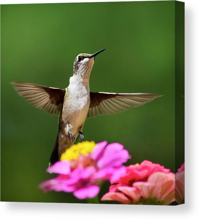 Hummingbird Canvas Print featuring the photograph Hummingbird by Christina Rollo