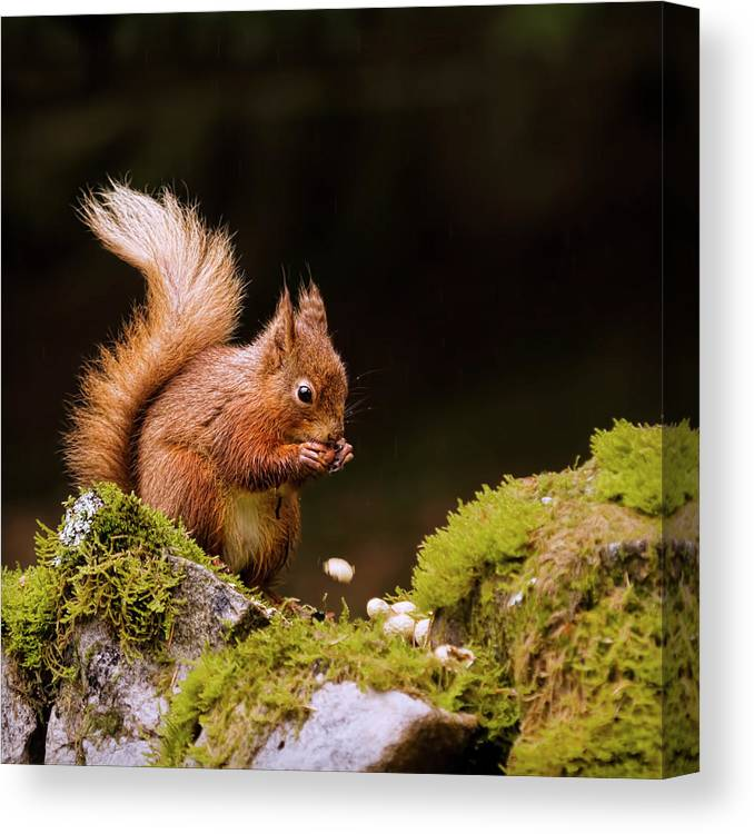 Nut Canvas Print featuring the photograph Red Squirrel Eating Nuts by Blackcatphotos