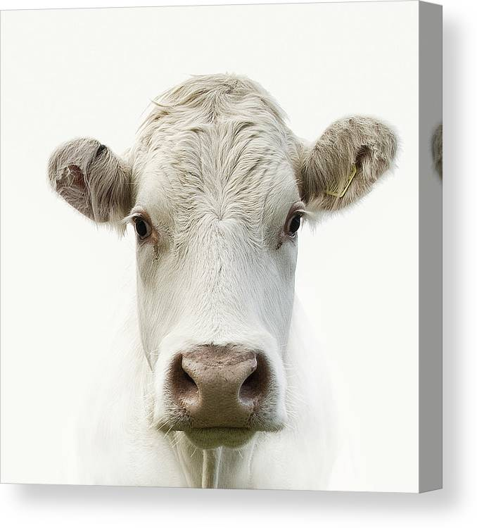 White Background Canvas Print featuring the photograph White Cow by Jojo1 Photography