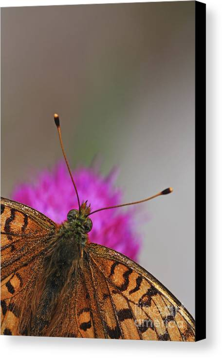 Lesser Spotted Fritillary Canvas Print featuring the photograph Lesser Spotted Fritillary by Amos Dor