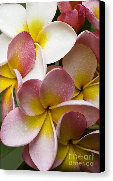 Pink Frangipani Canvas Print featuring the photograph Pink Frangipani by Sheila Smart Fine Art Photography