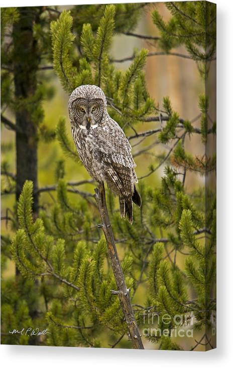 Great Grey Owl Canvas Print featuring the photograph Looking For Lunch by Michael Waller