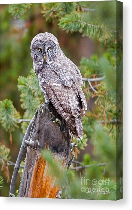 Great Grey Owl Canvas Print featuring the photograph Tree Trunk Stance by Michael Waller