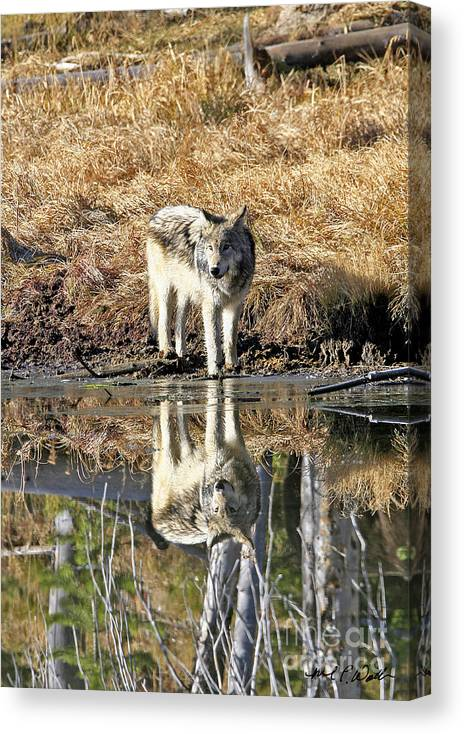 Wolf Canvas Print featuring the photograph Wolf Pup Reflection by Michael Waller