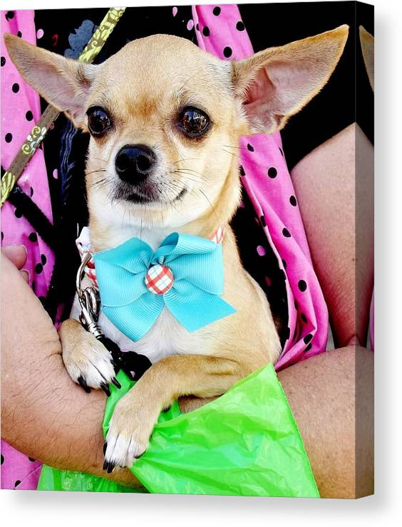 Dog Canvas Print featuring the photograph Mini Chi Chi Baby by Lori-Anne Fay