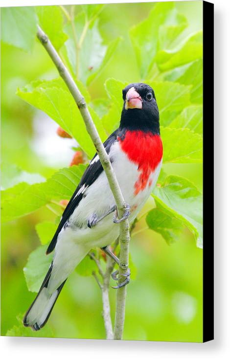 Rose-breasted Grosbeak Canvas Print featuring the photograph Rose-breasted Grosbeak by Andrew McInnes