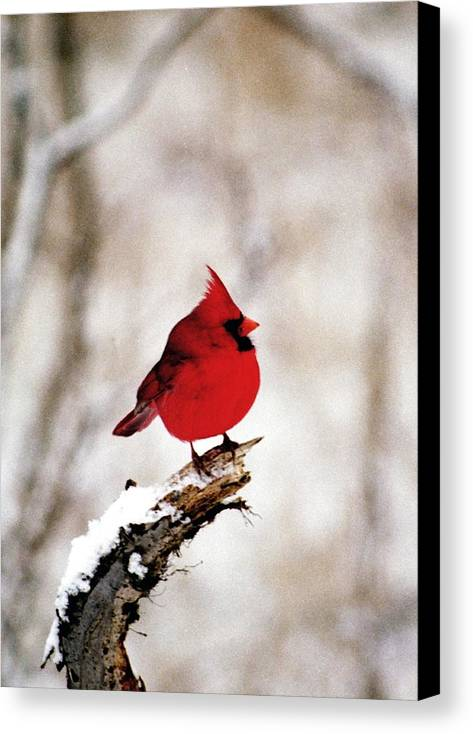Cardinal Canvas Print featuring the photograph 080806-26 by Mike Davis