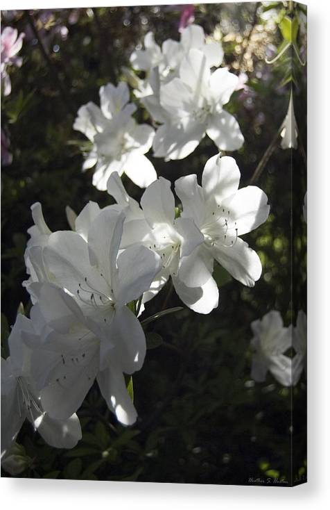 Flowers Canvas Print featuring the photograph White Azaleas by Heather S Huston