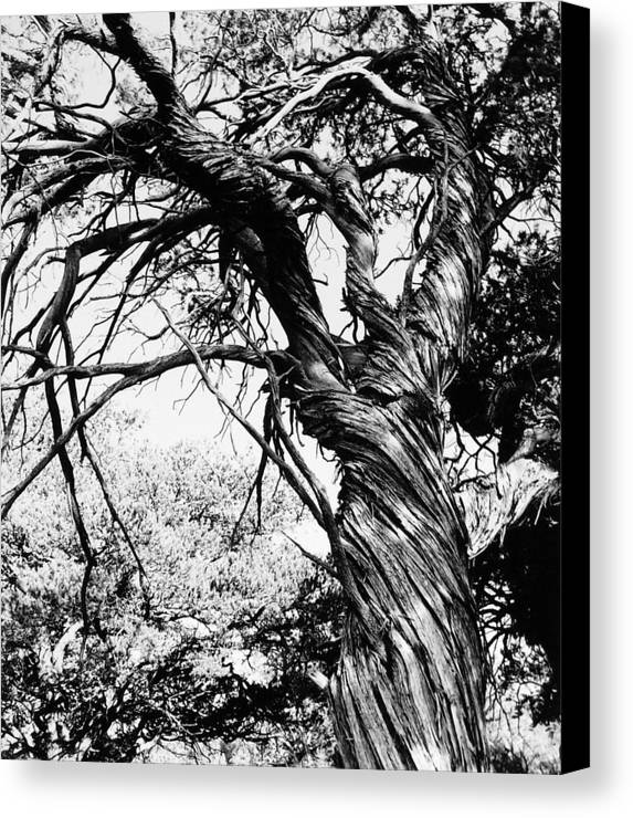 Tree Canvas Print featuring the photograph Twisted Beauty by Allan McConnell