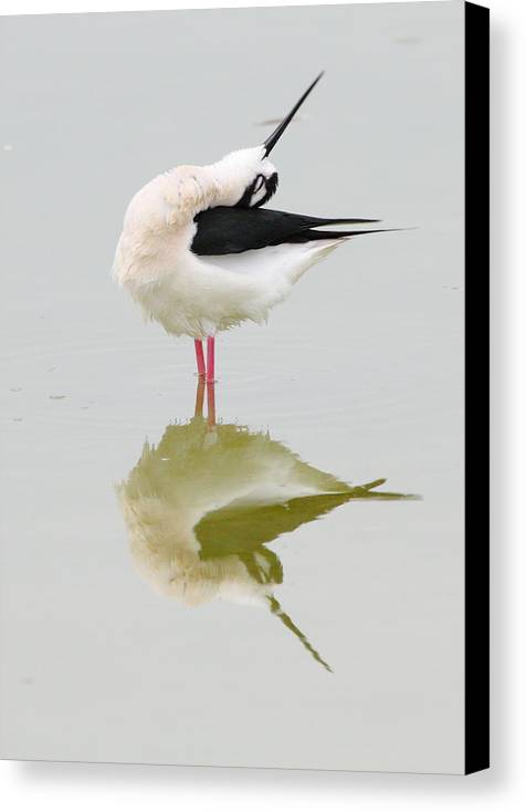 Black-necked Stilt Canvas Print featuring the photograph Stretch by Andrew McInnes