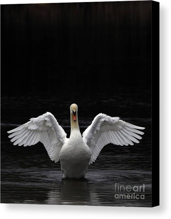 Mute Swan Stretching Canvas Print featuring the photograph Mute Swan Stretching It's Wings by Urban Shooters