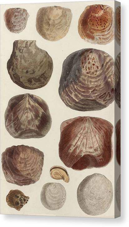 Aquatic Animals - Seafood - Shells - Mussels Canvas Print featuring the drawing Aquatic Animals - Seafood - Shells - Mussels by Art Makes Happy