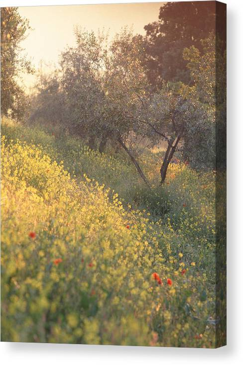 Tuscany Canvas Print featuring the photograph Olive Grovetuscany by Michael Hudson