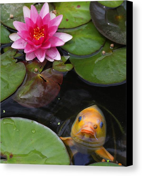 Koi Canvas Print featuring the photograph Feeding Time by Doug Johnson