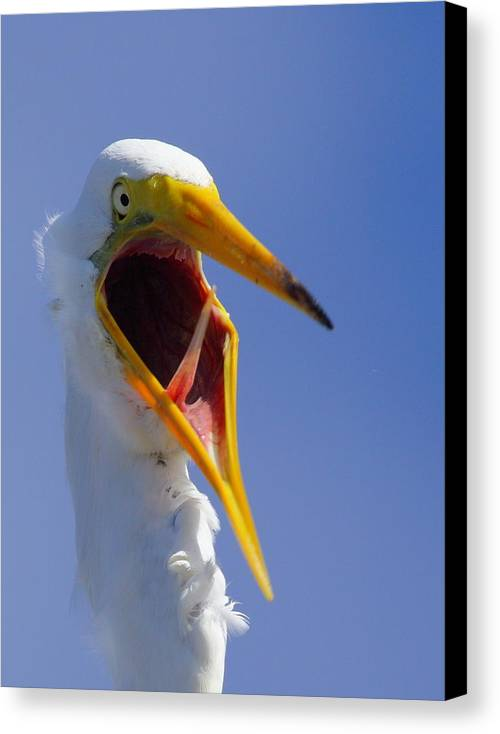 Great Egret Canvas Print featuring the photograph Are You Serious by Andrew McInnes