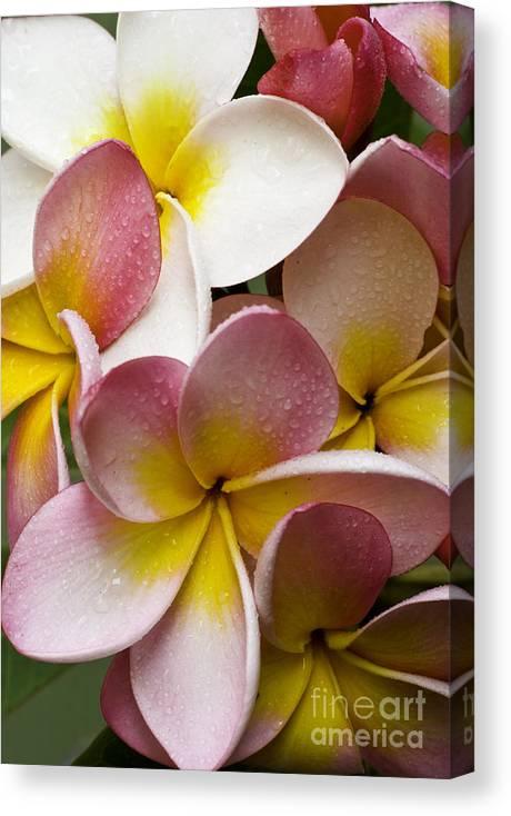 Pink Frangipani Canvas Print featuring the photograph Pink frangipani by Sheila Smart Fine Art Photography