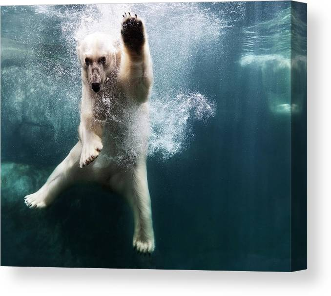Diving Into Water Canvas Print featuring the photograph Polarbear In Water by Henrik Sorensen