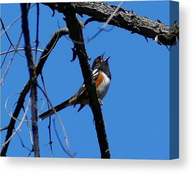 Birds Canvas Print featuring the photograph A Spotted Towhee Mid-song by Ben Upham III