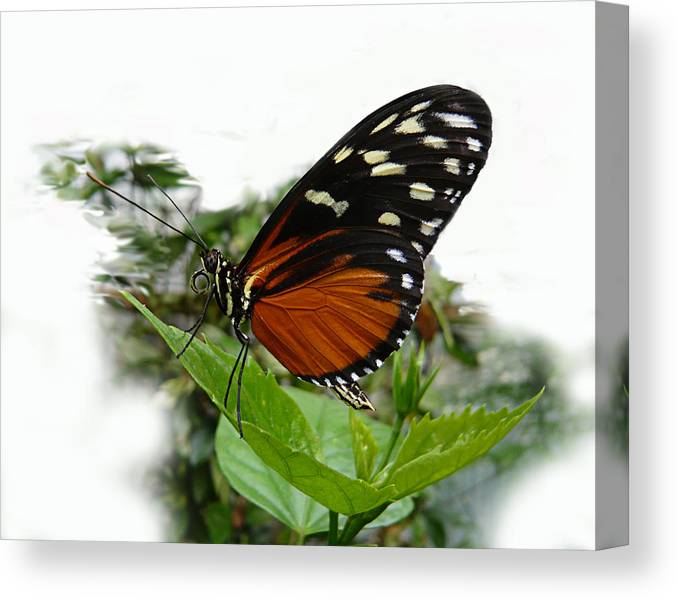 Butterfly Canvas Print featuring the photograph Butterfly by Tom Conway