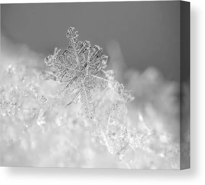 Snowflake Canvas Print featuring the photograph First Snowflake by Rona Black
