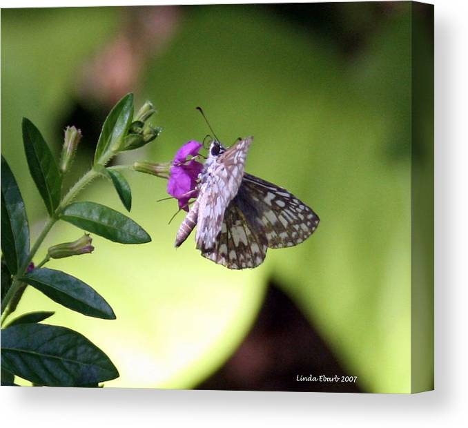 Insect Canvas Print featuring the photograph Butterfly on Heather by Linda Ebarb