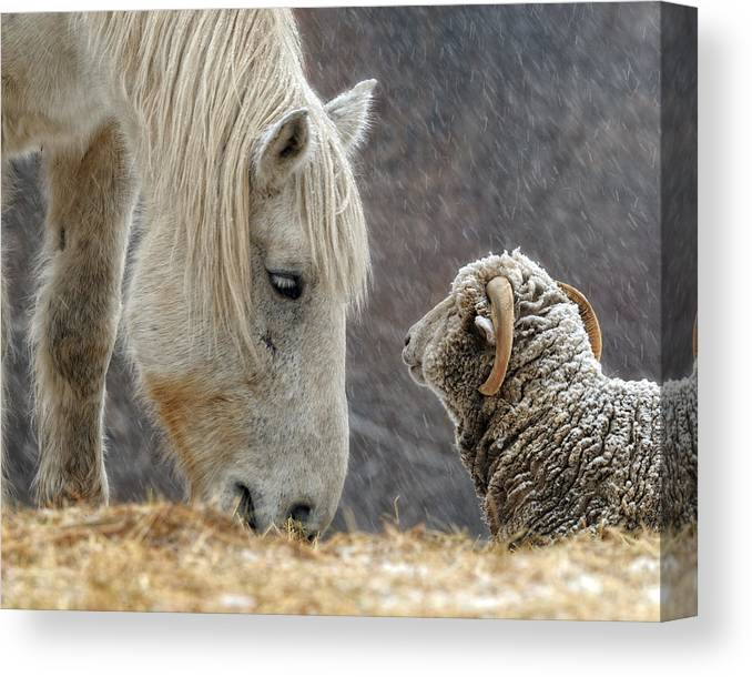 Horse Canvas Print featuring the photograph Clouseau and Friend by Don Schroder