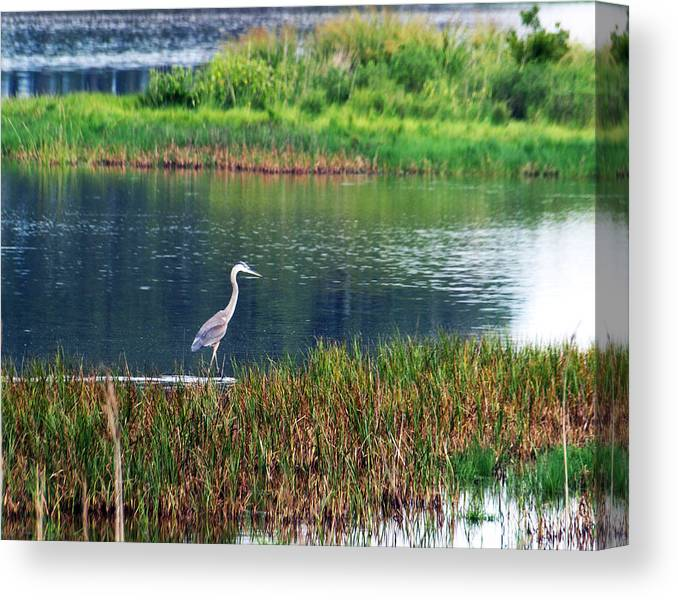 Great Blue Heron Canvas Print featuring the photograph Great Blue by Kim