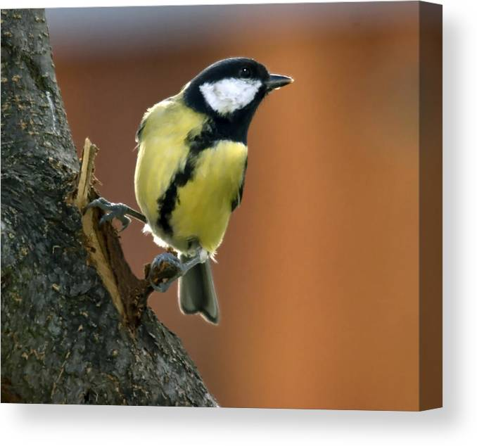 Great Tit Canvas Print featuring the photograph Great Tit by Cliff Norton
