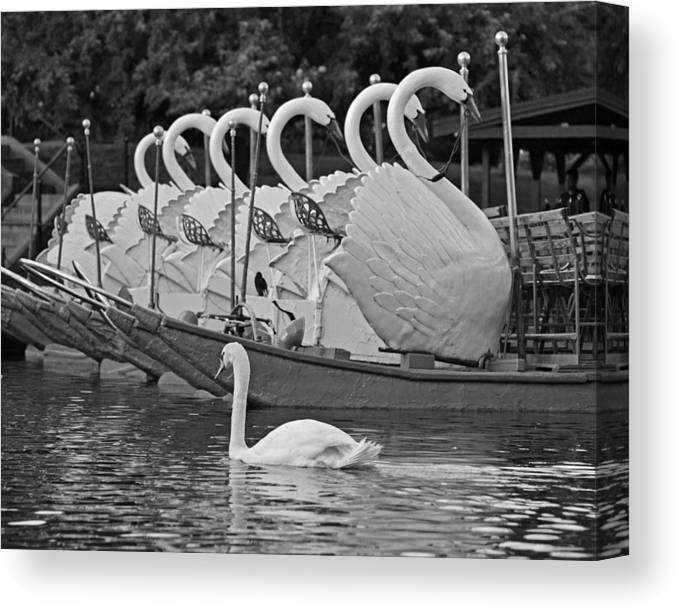 Swan Swimming Up With Some Friends Black And White Canvas Print Canvas Art By Toby Mcguire