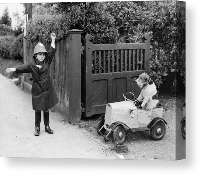 Pets Canvas Print featuring the photograph Doggy Driver by Fox Photos