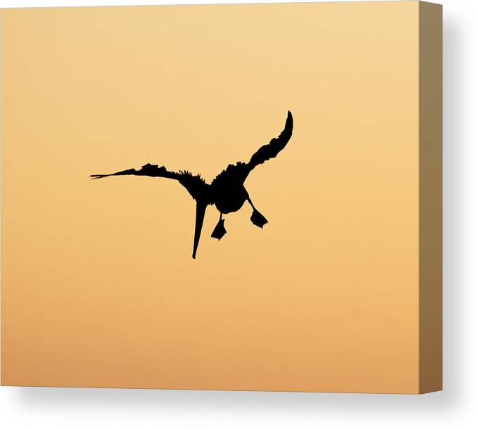 Bad Feather Day Canvas Print featuring the photograph Bad Feather Day -- Brown Pelican Silhouette In Morro Bay, California by Darin Volpe