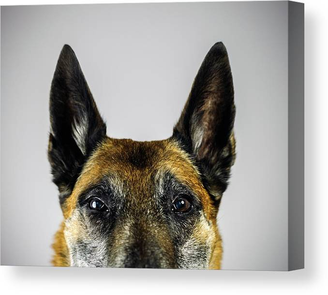 Pets Canvas Print featuring the photograph Belgian Sheperd Malinois Dog Looking At by Joan Vicent Cantó Roig