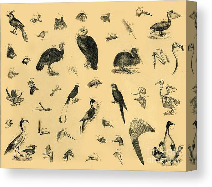 Engraving Canvas Print featuring the drawing Birds by Print Collector