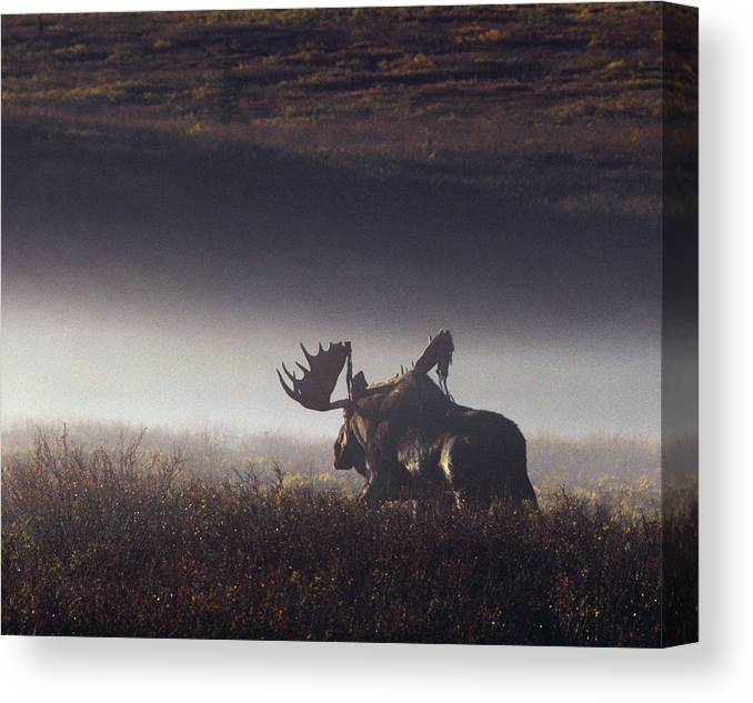 Majestic Canvas Print featuring the photograph Bull Moose Alces Alces Walking Through by Johnny Johnson